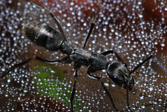 Ant On A Web Stock Photography