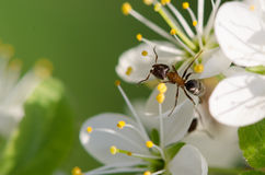 Ant on a white flower Royalty Free Stock Images