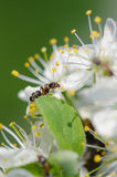 Ant on a white flower Stock Image