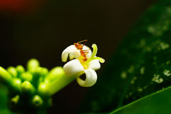 Ant on a white flower. macro Stock Images