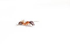 Ant on white Royalty Free Stock Photography