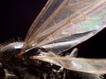 Ant wing Royalty Free Stock Image