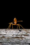 Ant on a wooden surface Stock Photography