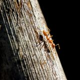 Ant on a wooden surface Stock Images