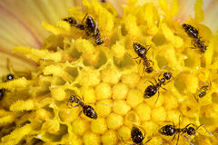 Ant workers on flower Royalty Free Stock Photography