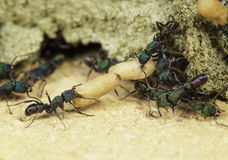 Ant workers Royalty Free Stock Photography