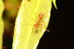 Ant working Royalty Free Stock Images