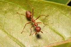 Ant working in the green tree Royalty Free Stock Photography