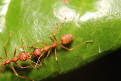 Ant working in the green tree Royalty Free Stock Photos