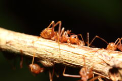 Ant working in the green tree Royalty Free Stock Images