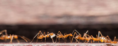 Ant working hard Stock Photography