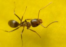Ant on a yellow flower Stock Photography
