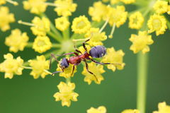 Ant on yellow flower Royalty Free Stock Photography