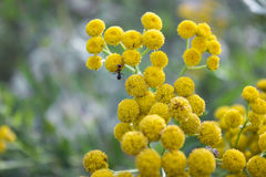 Ant on yellow round flower. Nature background Stock Photo