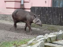Anta de tapir [terrestris de Tapirus] dans le ZOO de Wroclaw photographie stock