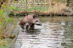 Anta del tapiro - terrestris del Tapirus in un fiume, con un fondo vago immagine stock