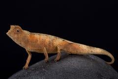 Antahkarana pygmy chameleon, Brookesia antahkarana. The Antahkarana pygmy chameleon, Brookesia antahkarana, is a recently discovered dwarf chameleon species Royalty Free Stock Image