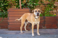 Antalya dog. A dog in the Antalya Old City royalty free stock image