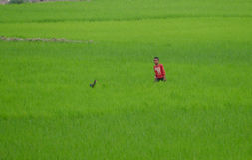 Antananarivo, Μαδαγασκάρη 24 ΝΟΕΜΒΡΊΟΥ 2016: Αγόρι στο FI ρυζιού Στοκ εικόνες με δικαίωμα ελεύθερης χρήσης