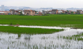 Antananarivo, Μαδαγασκάρη 24 ΝΟΕΜΒΡΊΟΥ 2016: Τομείς ρυζιού σε τρελλό Στοκ Φωτογραφίες