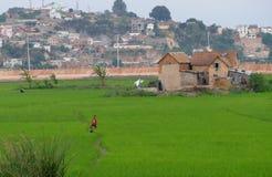 Antananarivo, Madagascar 24 NOVEMBRE 2016: Ragazzo sul riso fi Fotografia Stock Libera da Diritti