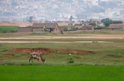 Antananarivo, Madagaskar 24. NOVEMBER 2016: Reisfelder in wütendem stockfotos