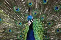 Antananarivo również Madagaskaru hindusa pavo cristatus niebieski zwany wspólnego pawie Zdjęcie Stock