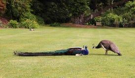Antananarivo również Madagaskaru hindusa pavo cristatus niebieski zwany wspólnego pawie Obrazy Stock