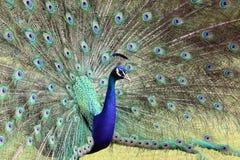 Antananarivo również Madagaskaru hindusa pavo cristatus niebieski zwany wspólnego pawie Zdjęcia Stock