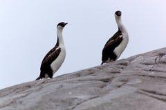 Antarctic Albatros On Rock Stock Images