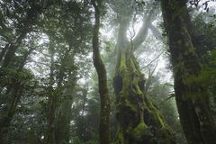 Antarctic Beech -  Nothofagus moorei Royalty Free Stock Images