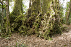 Antarctic Beech Trees Stock Images