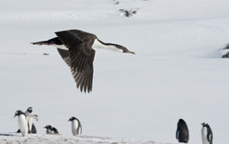 Antarctic blue-eyed cormorant flying over the penguins. Royalty Free Stock Photos