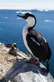Antarctic blue-eyed cormorant sitting on a rock on a background Stock Images