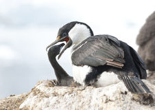 Antarctic blue-eyed moment feeding cormorant chicks. Stock Photos