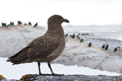 Antarctic or brown skua which stands on a rock on a background o Stock Photos