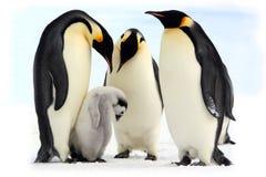 antarctic cesarza pingwiny Zdjęcia Royalty Free