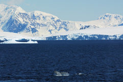 Antarctic continent. Whale in sea - Antarctic continent Stock Images