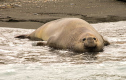 Antarctic Elephant Seal Royalty Free Stock Image