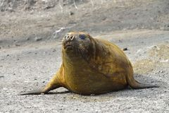 Antarctic Elephant Seal Royalty Free Stock Photography