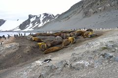 Antarctic Elephant Seals Stock Photo