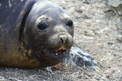 Antarctic Elephant Seals Royalty Free Stock Photography