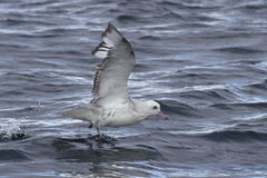 Antarctic fulmars soaring with the ocean surface 1 Royalty Free Stock Images