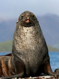 Antarctic Fur Seal stock image