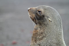 Antarctic fur seal, Antarctica Stock Photos