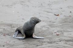Antarctic fur seal, arctocephalus gazella, Antarctica Stock Photo