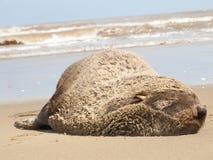 Antarctic fur seal Arctocephalus gazella Royalty Free Stock Images