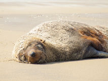 Antarctic fur seal Arctocephalus gazella Royalty Free Stock Photography