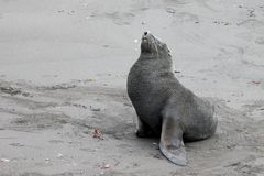 Antarctic fur seal, arctocephalus gazella, Antarctica Stock Photography