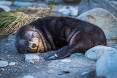 Antarctic fur seal asleep on stony beach Royalty Free Stock Photos